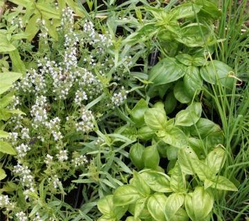 plantes-aromatiques-et-condimentaires.jpg